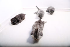 British Shorthair cute babies Stock Photography