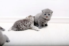 British Shorthair cute baby Royalty Free Stock Images