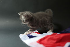 British Shorthair cute face closeup Stock Photos