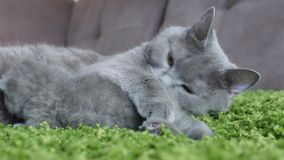 British Shorthair cute kitten face Stock Image