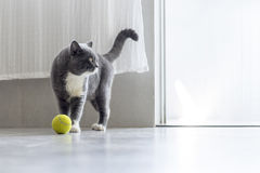 A British Shorthair royalty free stock photos