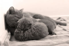 British Shorthair family. Newly born British Shorthair Blue kittens and their mom, close-up portrait Stock Photography