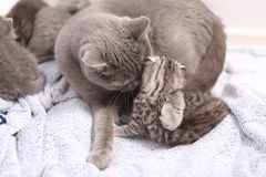 British Shorthair family Stock Images