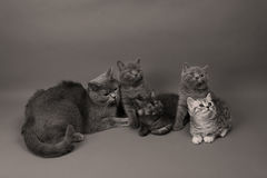 British Shorthair family. Newly born British Shorthair kitten portrait, close-up view, on a white background, copyspace Stock Photography