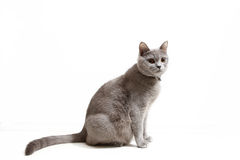 British Shorthair feline Stock Photo
