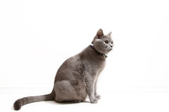 British Shorthair feline Stock Image
