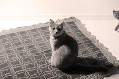 British Shorthair feline Stock Image