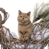 British shorthair in front of a Christmas scenery Stock Photography