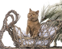British shorthair in front of a Christmas scenery Stock Photo