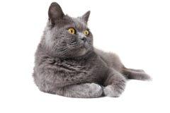 British shorthair grey cat Stock Photo