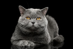British shorthair grey cat with big wide face on Black background royalty free stock photo