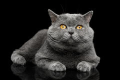 British shorthair grey cat with big wide face on Black background. British shorthair grey cat with big wide face Lying on Isolated Black background Stock Image