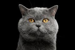 British shorthair grey cat with big wide face on Black background. Portrait of British shorthair grey cat with big wide face on Isolated Black background, front Royalty Free Stock Photography