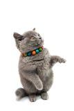 British shorthair grey cat isolated Stock Photos