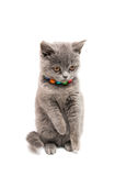 British shorthair grey cat isolated. On the white background stock image