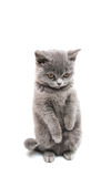 British shorthair grey cat isolated. On the white background royalty free stock photography