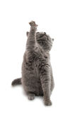 British shorthair grey cat isolated Stock Images
