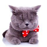 British shorthair grey cat sleeping Stock Images