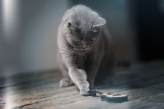 British Shorthair with a guitar. British Shorthair kitten finding a small guitar, wooden background royalty free stock photo