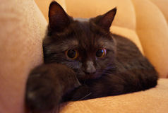 The British Shorthair сat Stock Images