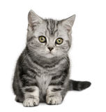 British Shorthair kitten (10 months old) Royalty Free Stock Image