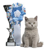 British Shorthair Kitten, 10 weeks old, sitting. Next to a winning prize in front of white background Royalty Free Stock Image