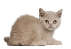 British Shorthair Kitten, 10 weeks old, sitting Stock Photography