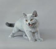 British shorthair kitten. Portrait at grey background Royalty Free Stock Photos