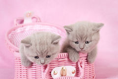 British shorthair kitten Royalty Free Stock Photography