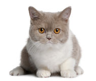 British shorthair kitten (3 months old) Stock Photography