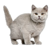 British Shorthair kitten, 3 months old Stock Images