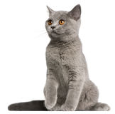 British Shorthair kitten, 3 months old, sitting Stock Images