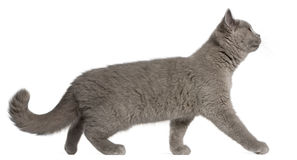 British Shorthair kitten, 3 months old, walking Stock Images