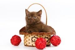 British Shorthair kitten. In basket on white background stock image