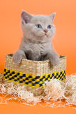 British Shorthair kitten. In decoration on orange background Stock Image