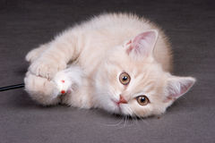 British shorthair kitten. On background in studio royalty free stock photos