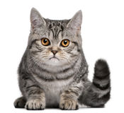 British Shorthair kitten, 5 months old Stock Photography