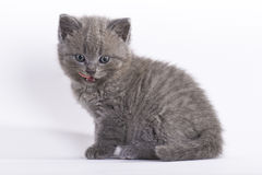 British shorthair kitten, 6 weeks. Old, licking its mouth, on white background Stock Photo