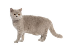 British Shorthair kitten (8 months) Royalty Free Stock Photos