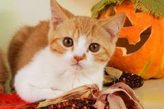 british shorthair kitten with autumn leaves Royalty Free Stock Image