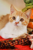 British shorthair kitten with autumn leaves Royalty Free Stock Photos
