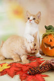 British shorthair kitten with autumn leaves Stock Images