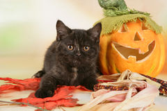 British shorthair kitten with autumn leaves Royalty Free Stock Images