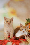British shorthair kitten with autumn leaves Royalty Free Stock Photography