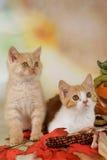 British shorthair kitten with autumn leaves Stock Photo