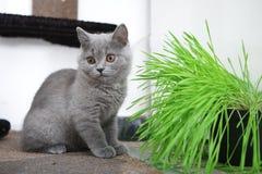 British Shorthair kitten Royalty Free Stock Image