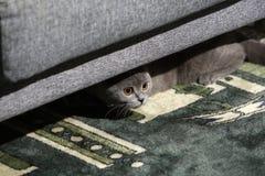 British Shorthair kitten. British Shorthair baby hiding under the coach Stock Photos