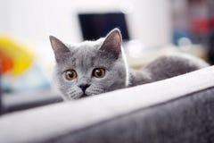 British Shorthair kitten Stock Image