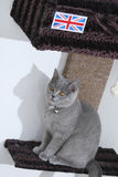 British Shorthair kitten Stock Photography