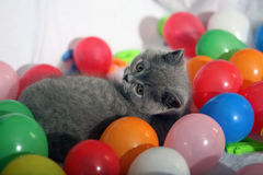British Shorthair kitten among balloons Royalty Free Stock Images